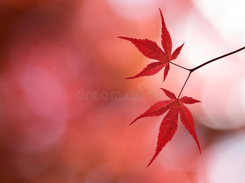 Branch With Red Maple Leaves In The Forest Stock Photos