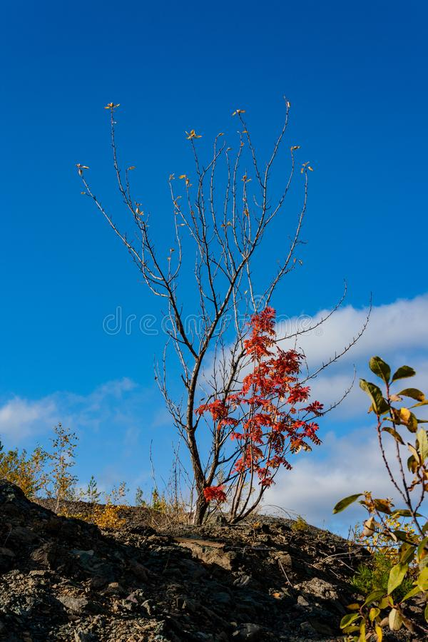 Branch of a red mountain ash against the blue sky. stock photography