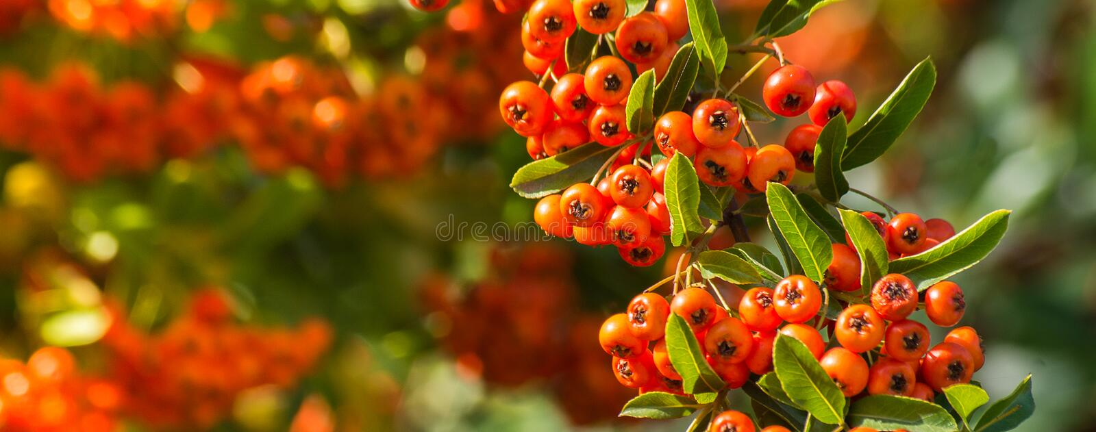 Branch of a red mountain ash on a blurred background of nature i royalty free stock photos