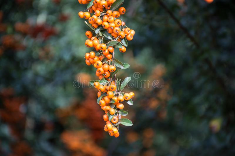 Branch of a red mountain ash royalty free stock photography