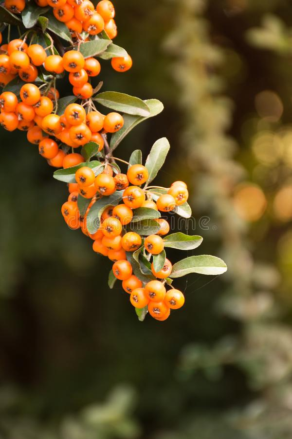 Branch of a red mountain ash royalty free stock images