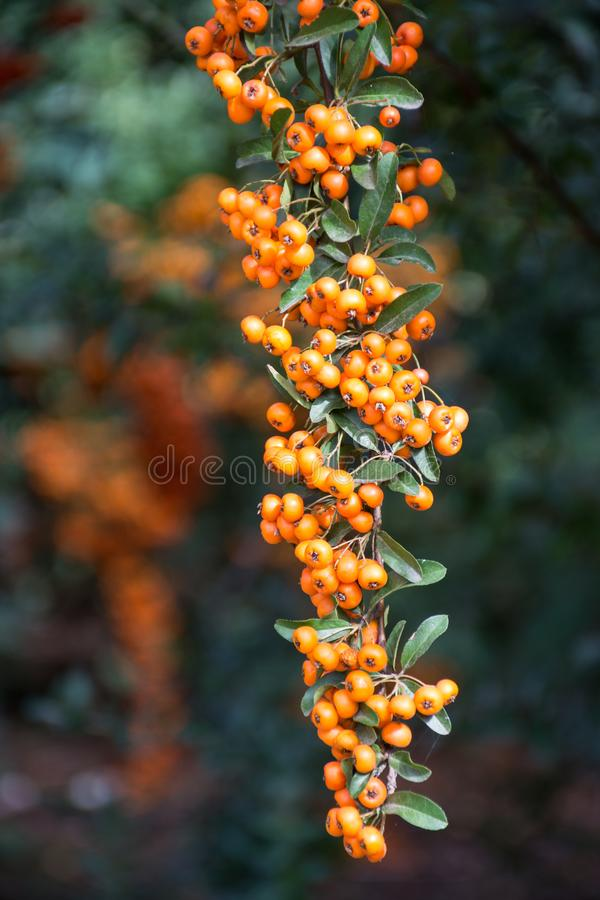 Branch of a red mountain ash royalty free stock photo