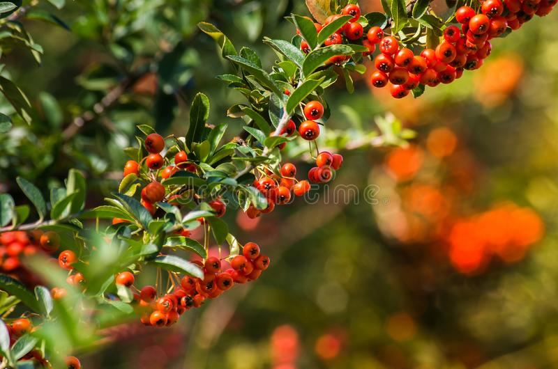 Branch of a red mountain ash on a blurred background of nature i royalty free stock photography