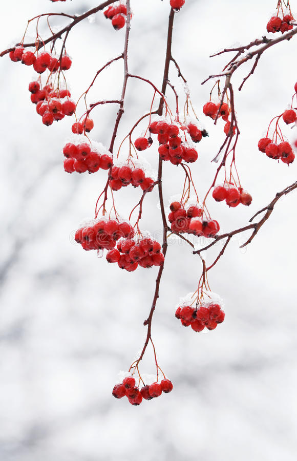 Branch with red ripe berries of mountain ash covered with snow. Branch with red ripe berries of mountain ash covered with white snow stock image