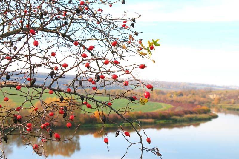 Branch of a red rose. Autumn Landscape. Red trees on the river bank. Green field on the shore royalty free stock images
