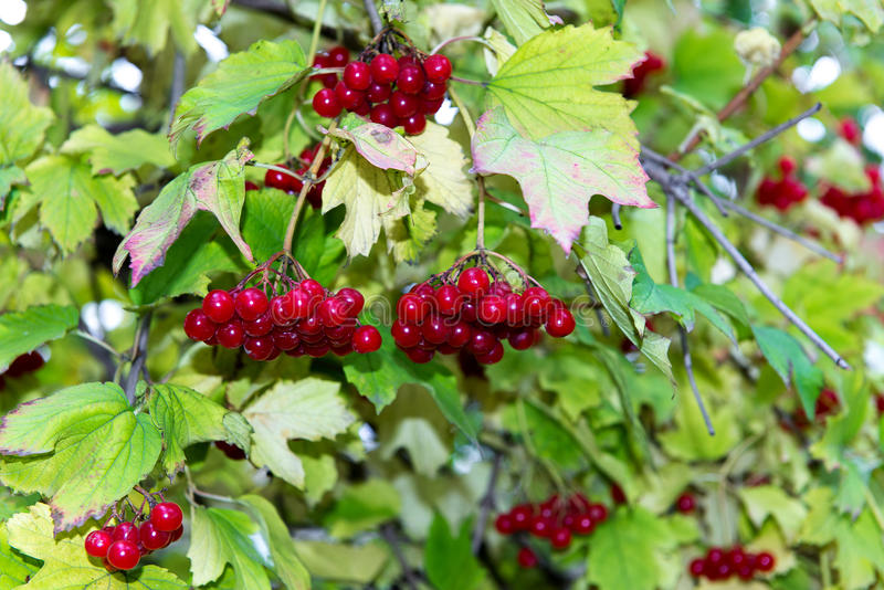 Branch of red viburnum in the garden. Bright red viburnum bunches in the autumn garden. Collection of raspberry harvest. stock images