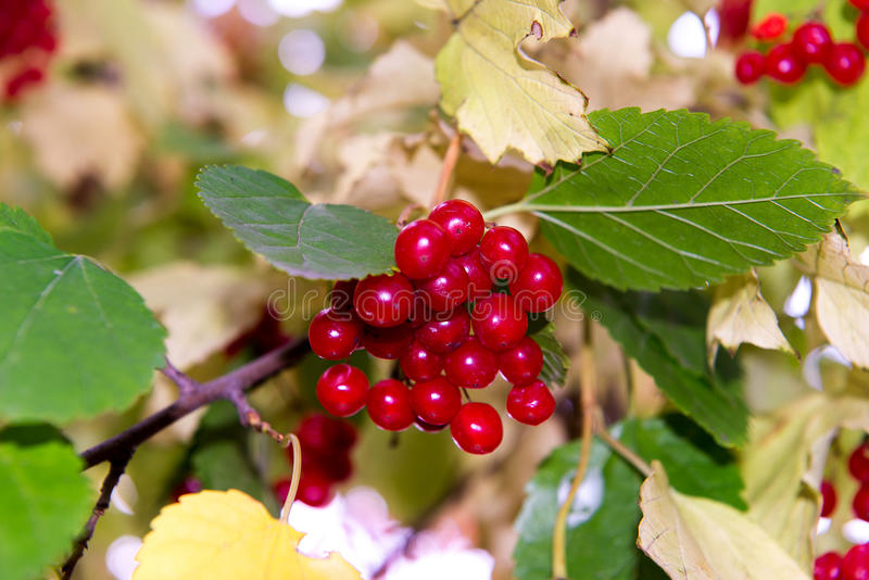 Branch of red viburnum in the garden. Bright red viburnum bunches in the autumn garden. Collection of raspberry harvest. stock photo