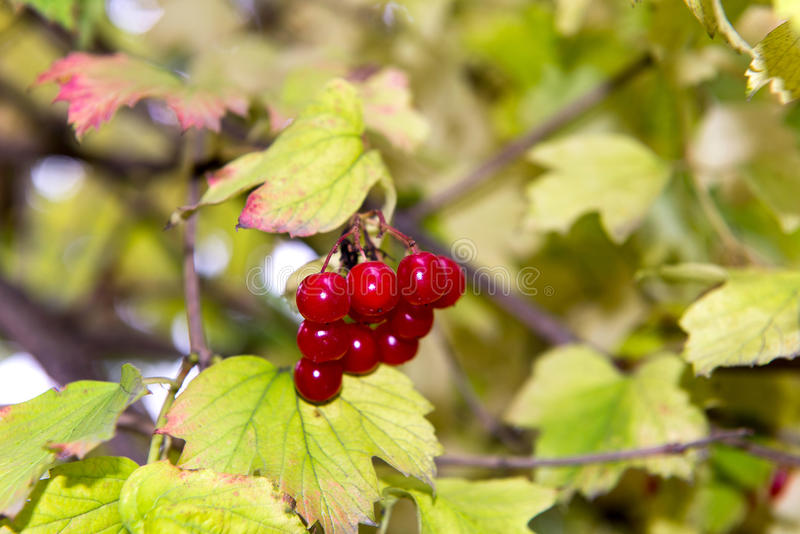 Branch of red viburnum in the garden. Bright red viburnum bunches in the autumn garden. Collection of raspberry harvest. stock photos