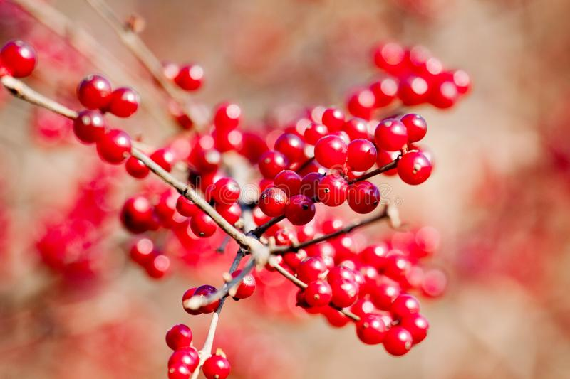 Branch with red wild berries as food for birds in winter. The branch with red wild berries as food for birds in winter royalty free stock photo