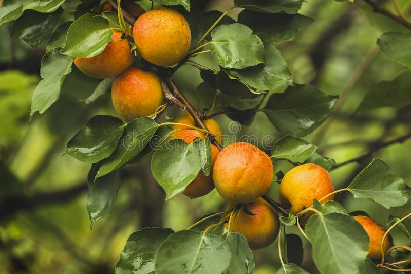 Branch with ripe apricots stock photography