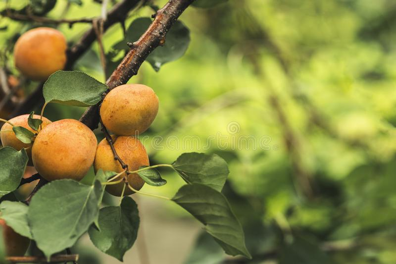 Branch with ripe apricots royalty free stock photography
