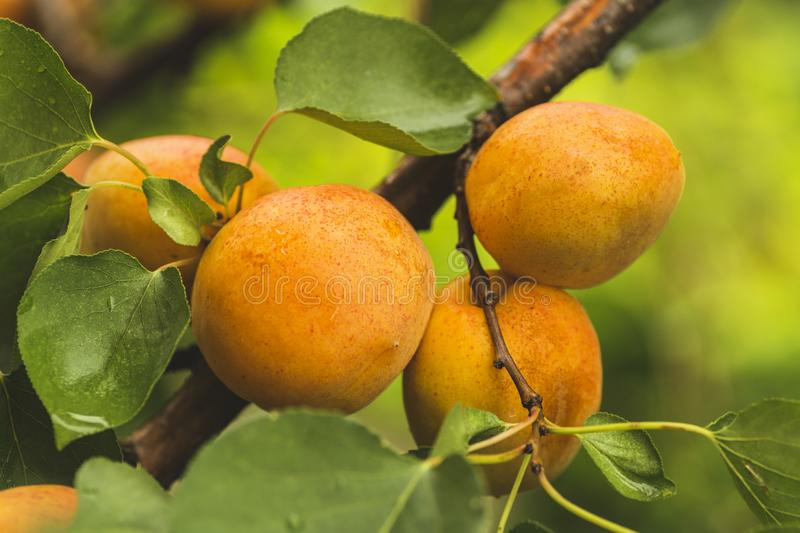 Branch with ripe apricots royalty free stock photos