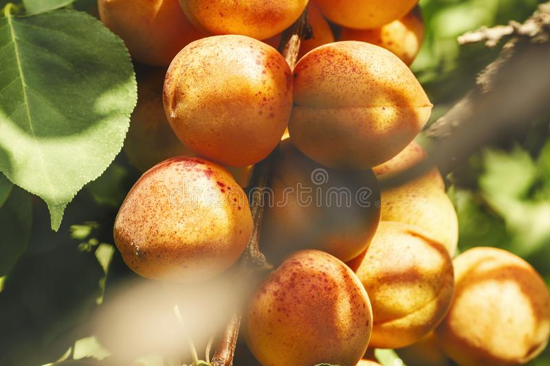 Branch with ripe juicy apricots stock photo