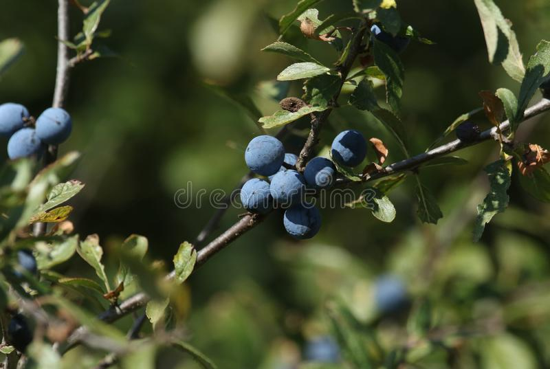 A branch of ripe Blackthorn or Sloe, Prunus spinosa, growing in the wild in the UK. royalty free stock image