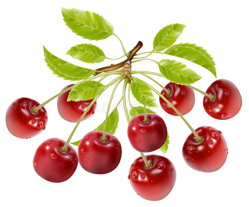 Download Branch Of Ripe Cherries With Water Drops And Leave Stock Vector - Image: 16056746