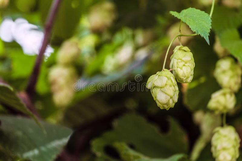 Branch with ripe hop cones in natural environment royalty free stock photo