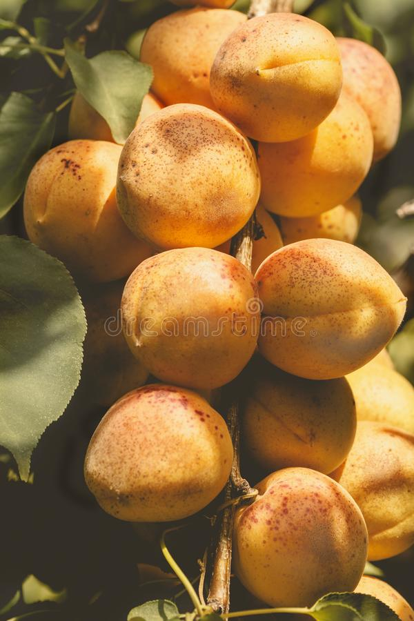 branch with ripe juicy apricots royalty free stock image