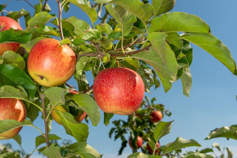 Branch of ripe red apples close-up. The concept of successful organic gardening. Branch of ripe red apples close-up.  concept of successful organic gardening stock photos