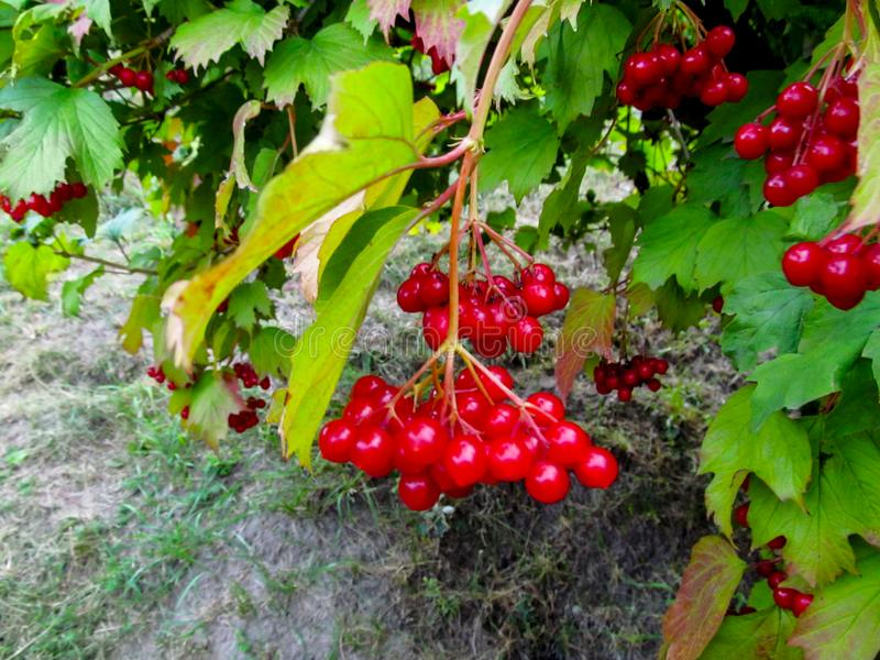 The branch with ripe red fruits of the Viburnum opulus and yellow-green leaves weighs above the ground royalty free stock images