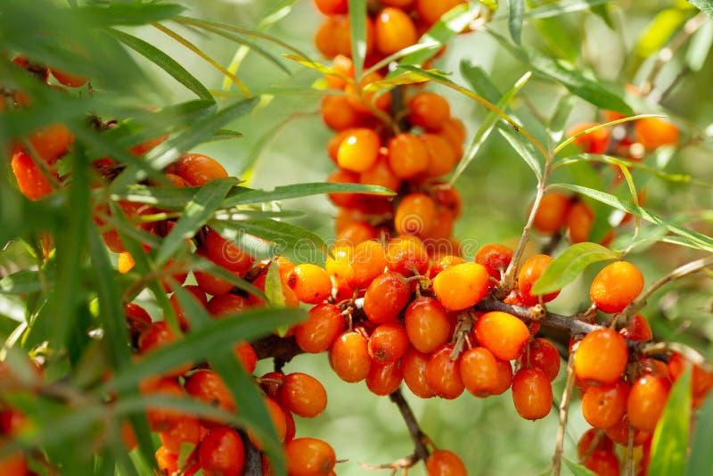Ripe sea buckthorn berries in a garden royalty free stock photo