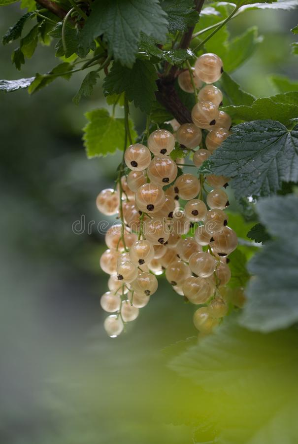 A branch of ripe white currant in the garden after the rain with raindrops. Organic farming. stock photography