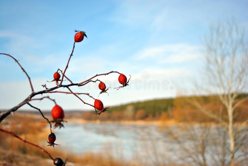 Branch of ripe wild rose berries on the background of blue sky and meadow with lake and bushes. Around royalty free stock photography