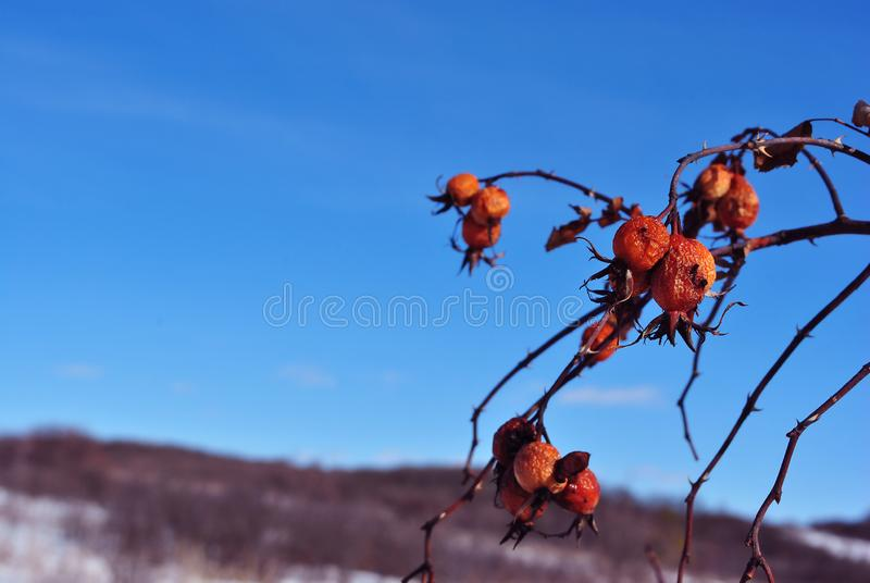 Branch with ripe wild rose berries on the background of hills covered with thorn bushes without leaves. Blue sky stock image