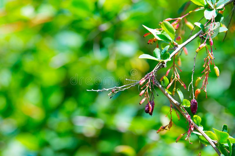 Branch of ripening red barberry after a rain with drops of water stock photography