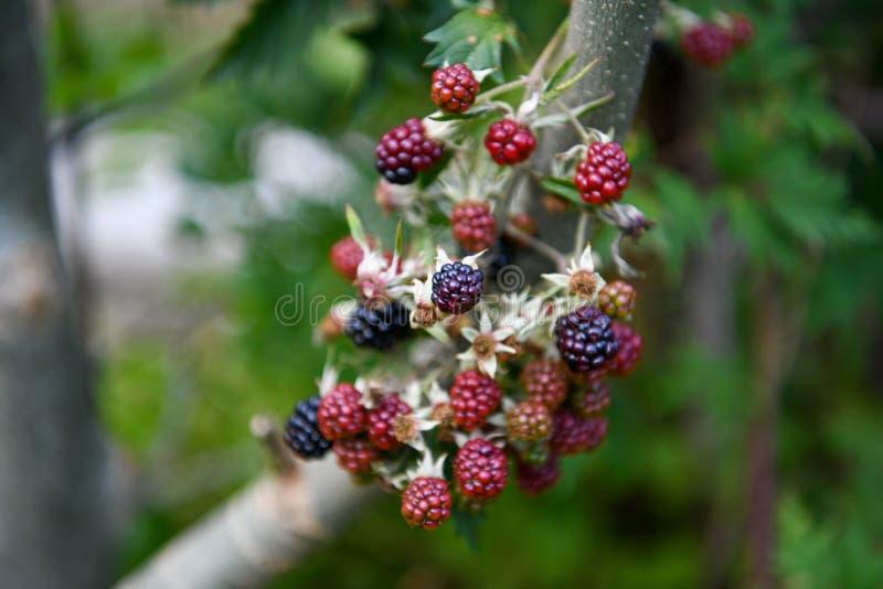 Branch of ripening wild blackberries. Wild blackberries ripening on branch close up stock photo