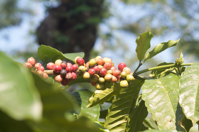 Branch of robusta coffee beans, Java island. stock images