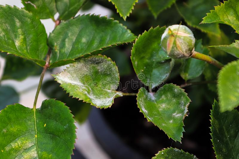 A branch on a rose bush covered in powdery mildew.  royalty free stock photo