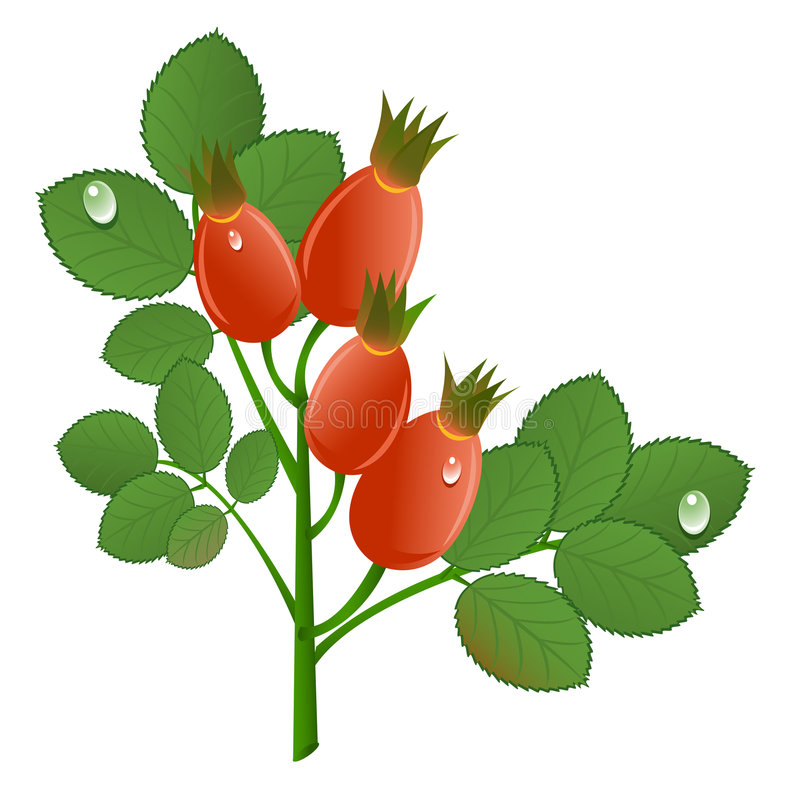 Download Branch of rose-hips stock vector. Image of detail, natural - 8571623