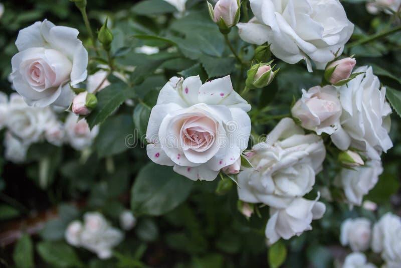 Branch rosebush 001 royalty free stock images