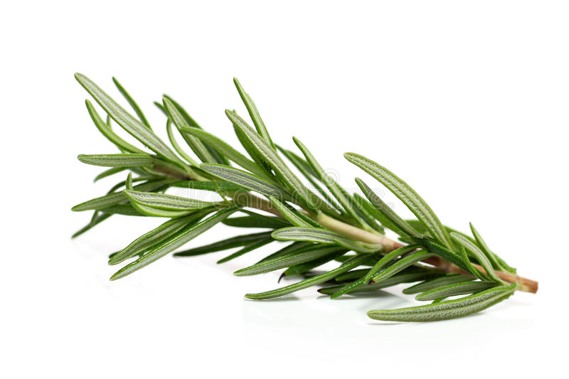 Branch of rosemary royalty free stock images