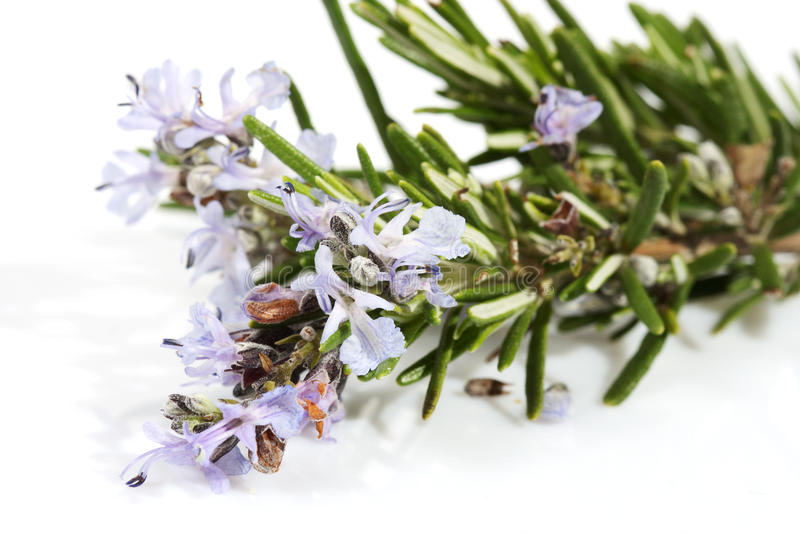 Branch of rosemary with flowers stock images