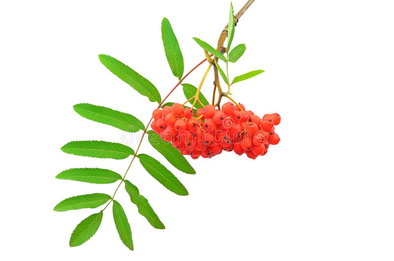 Branch of the rowan berries. Isolated on white background royalty free stock photo