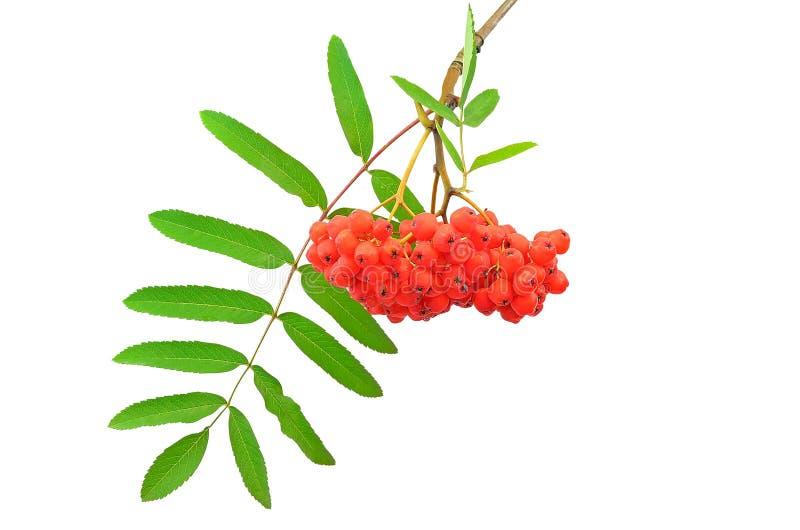 Branch of the rowan berries