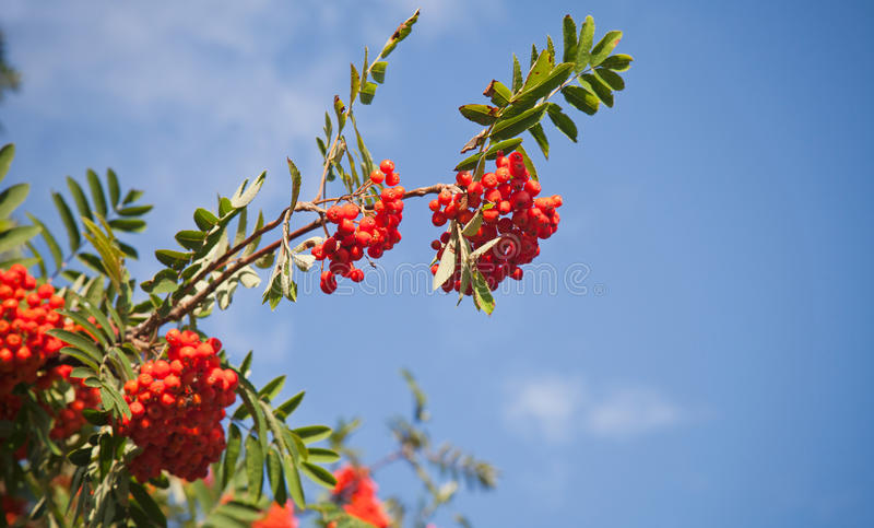 Download Branch Of A Rowan-tree With Bright Red Berries Royalty Free Stock Image - Image: 26485576