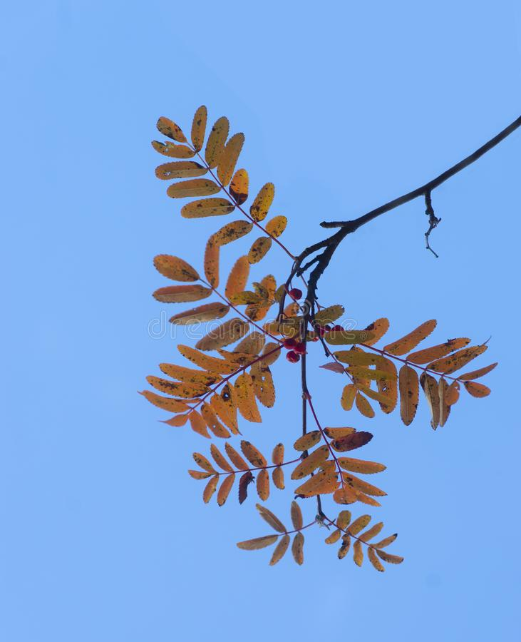 Branch of rowan tree with red berries in autumn royalty free stock photo