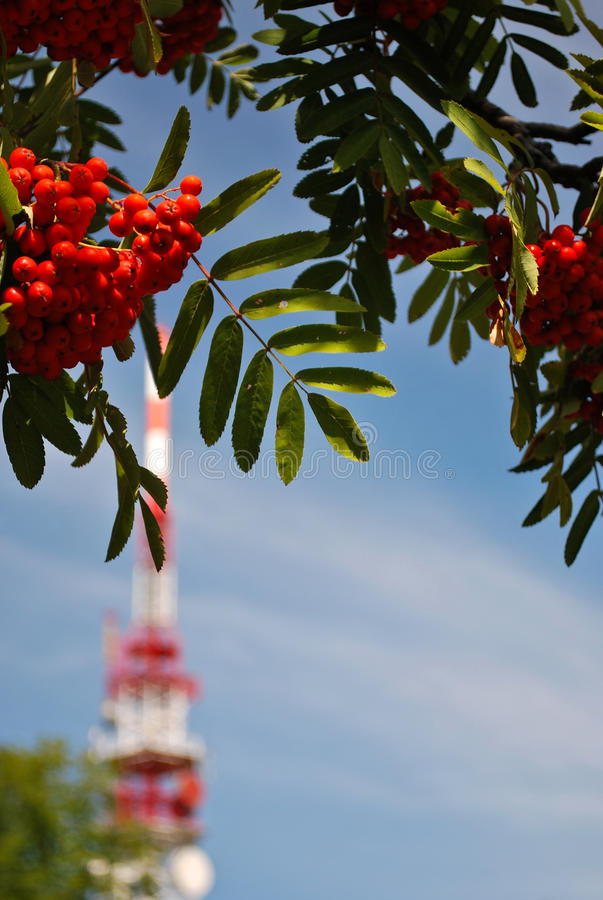 Branch of rowanberry. Rowanberry branch with transmitter as background stock photo