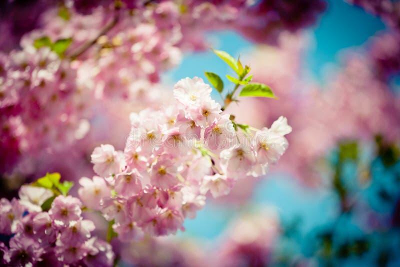 Branch Sakura Pink Cherry Blossoms against Clear blue sky. Branch Pink Cherry Blossoms Sakura against Clear Blue Sky stock photo
