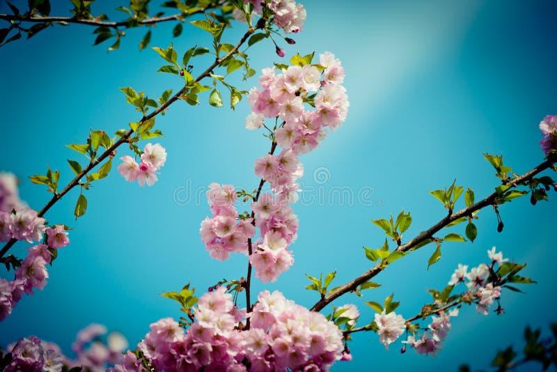 Branch Sakura Pink Cherry Blossoms against Clear blue sky. Branch Pink Cherry Blossoms Sakura against Clear Blue Sky stock photos