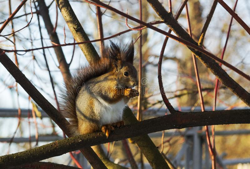 On the branch sat a gray squirrel with a white belly. Squirrel, animal, fauna, mammal, rodent, branches, nature, spring, gray wool, white belly.A squirrel sat on stock images