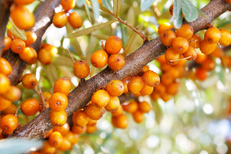 Download Branch of sea-buckthorn stock image. Image of garden - 15583447