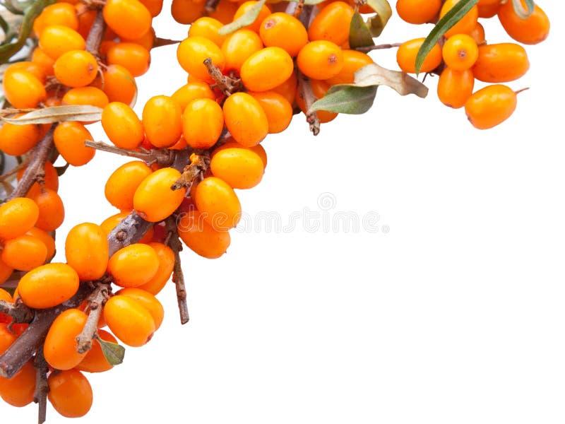 Branch of sea-buckthorn berries stock photos