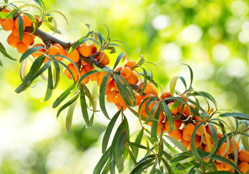 Branch of sea buckthorn berries royalty free stock image