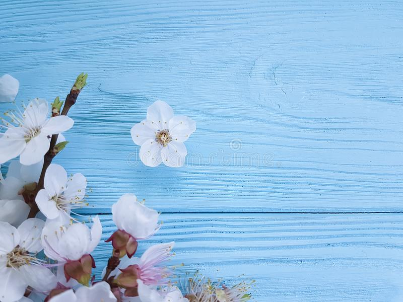 Branch seasonal of blossoming cherry celebration springtime beauty , frame on a blue wooden background stock photos