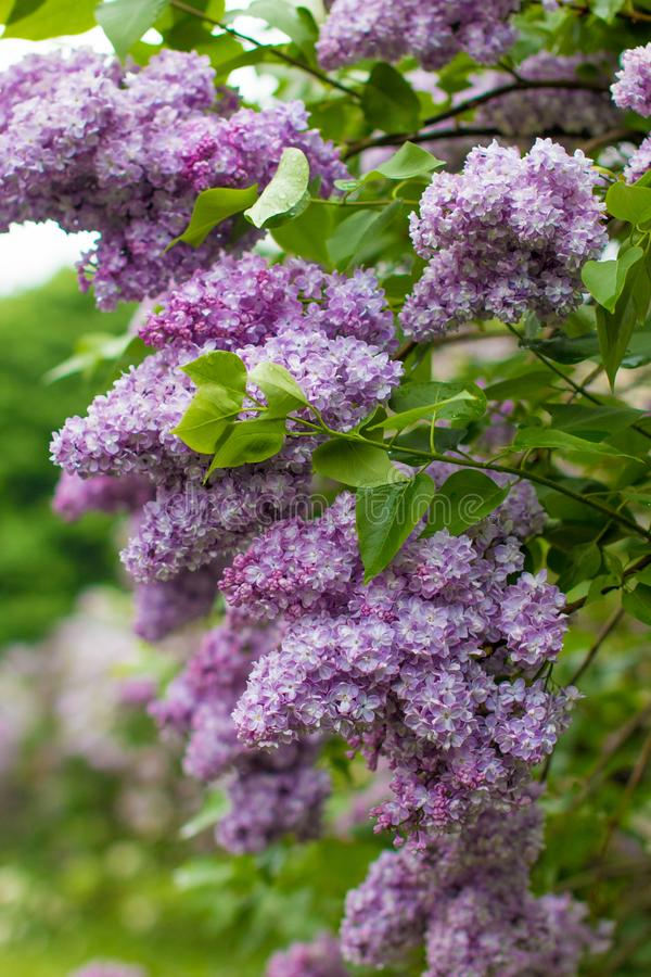 A branch of sirens on a tree in a garden, park. Beautiful flowering flowers of lilac tree at spring. Blossom in Spring. Spring concept royalty free stock photo