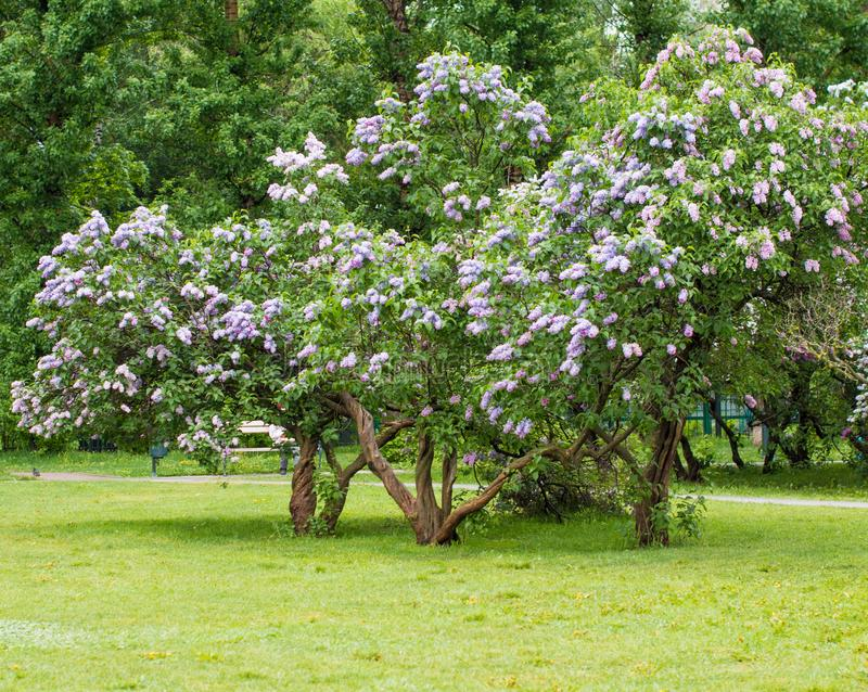 A branch of sirens on a tree in a garden, park. Beautiful flowering flowers of lilac tree at spring. Blossom in Spring. Spring concept stock images