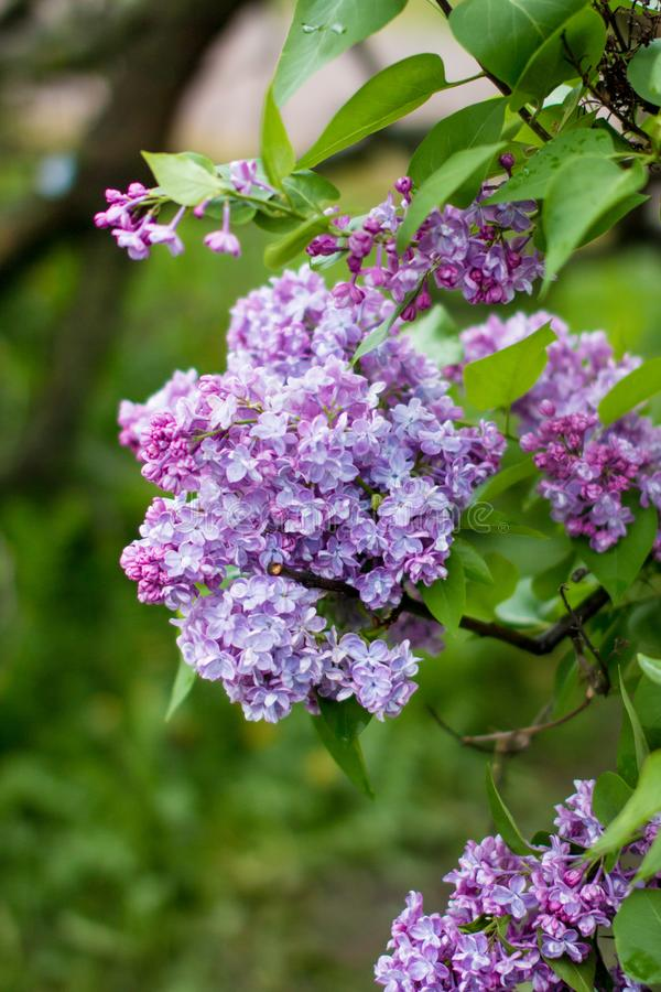 A branch of sirens on a tree in a garden, park. Beautiful flowering flowers of lilac tree at spring. Blossom in Spring. Spring concept royalty free stock images